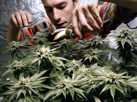 James MacWilliams prunes a marijuana plant that he is growing indoors in Portland, Maine, Dec. 13, 2017. (AP Photo/Robert F. Bukaty)