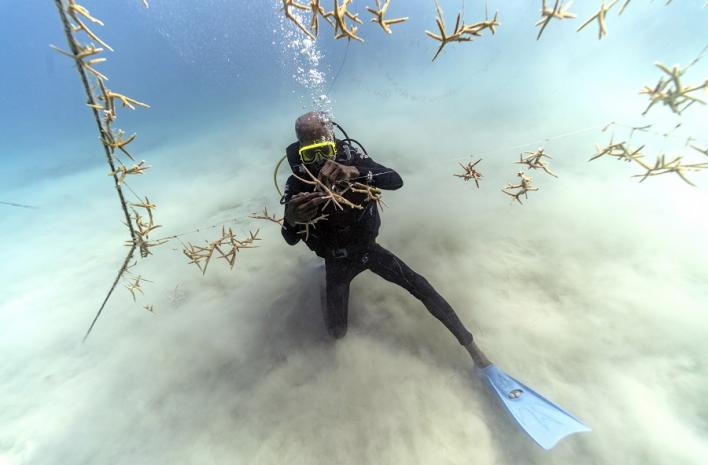 Diver Everton Simpson untangles lines of staghorn coral at a coral nursery inside the White River Fish Sanctuary on Feb. 11, 2019, in Ocho Rios, Jamaica. (AP Photo/David J. Phillip)